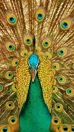 bird peacock feathers tail