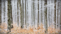 Frosted Forest Cevenne