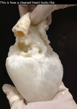 This is how a cleaned heart looks like