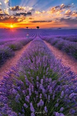 Lavender-fields-in-bloom-by-Ghazanfar-Ali-Shah